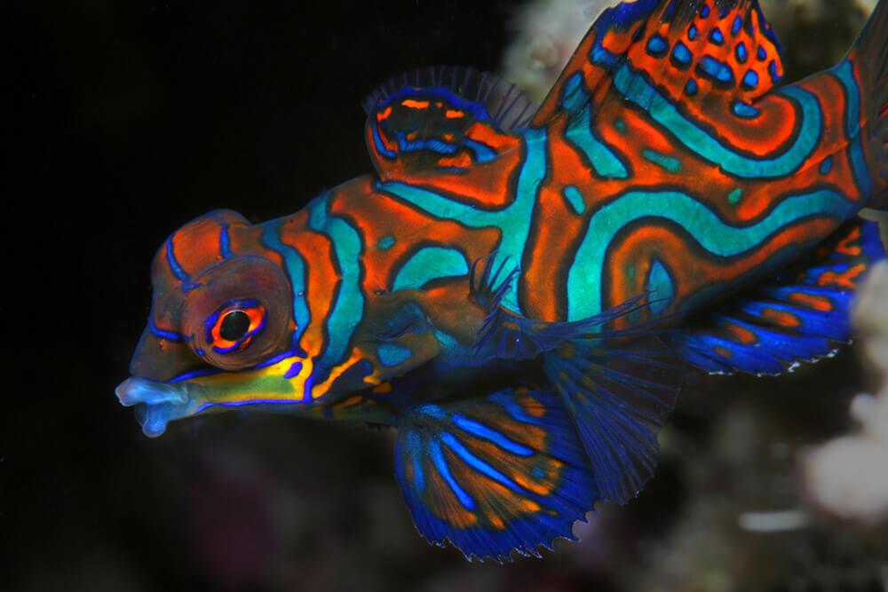 Mandarin Fish, Dive Apo Island, Dive Dumaguete