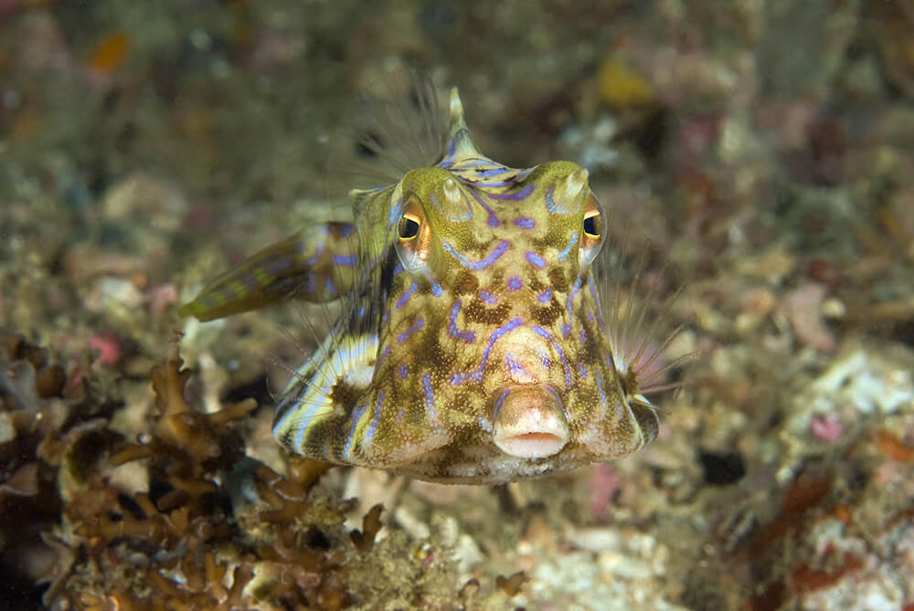 Cowfish, Diving, Scuba Diving,