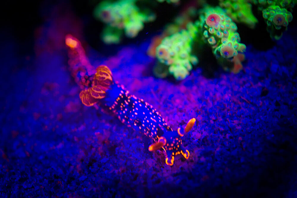 Fluro Diving, Macro Diving, Philippines Diving
