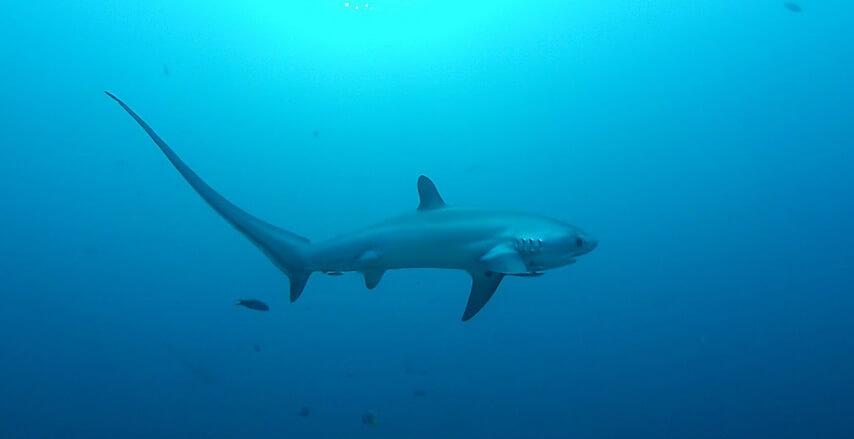 thresher shark in malapascua