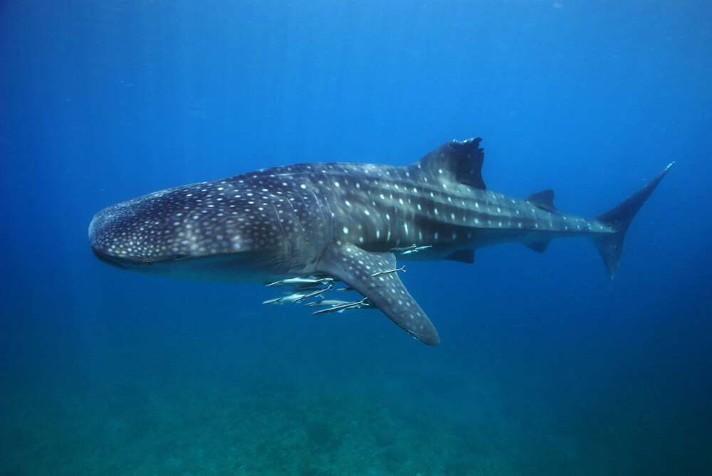 tubbataha whaleshark