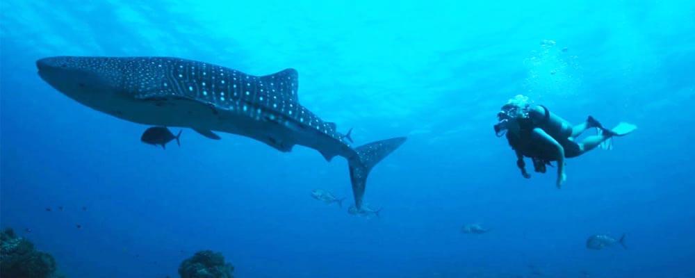 tubbataha whaleshark diver