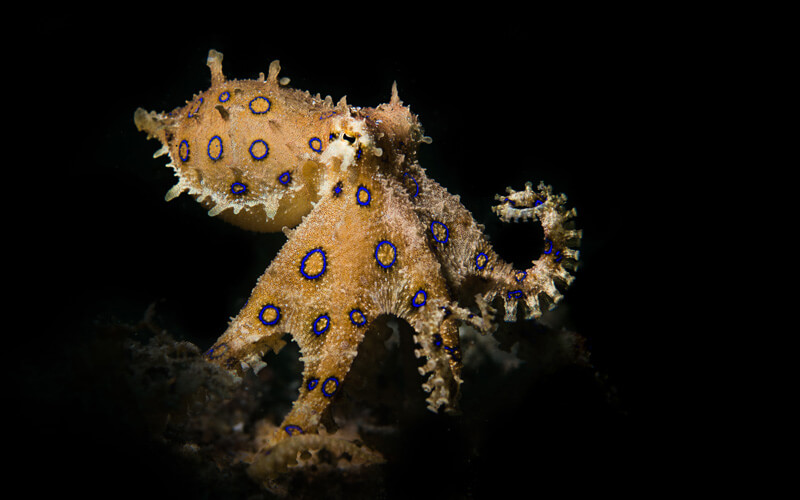Blue ringed octopus eyes